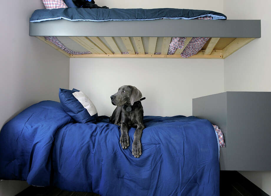 """""""Blu"""" the five month old Great Dane belonging to Blaine Raddon and Stacy Johnstun, is shown sitting on a bunk bed in a bedroom of their new home, which is called the dog's room. (Photo by Gene Sweeney Jr. for The Washington Post.) Photo: SWEENEY / The Washington Post"""