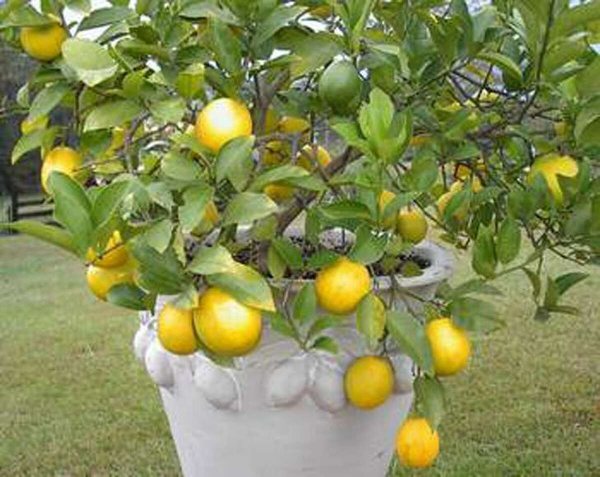 Meyer Lemon trees will be for sale Saturday, Feb. 15, at the Urban Harvest Fruit Tree Sale.