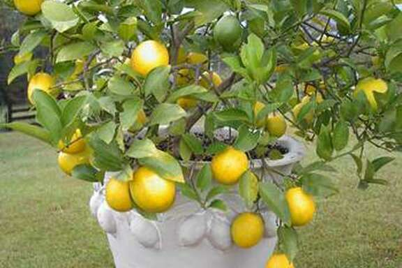 Meyer Lemon in a container