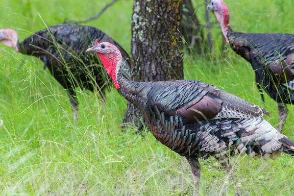 Wild turkeys live in family groups consisting of males, hens, and young birds. Males and females have a pecking order in the family structure.