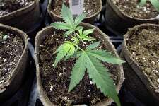 A newly-transplanted cannabis cuttings grow in pots at a medical marijuana cultivation facility in Massachusetts. Because of how marijuana is classified, access to it for research purposes is limited.