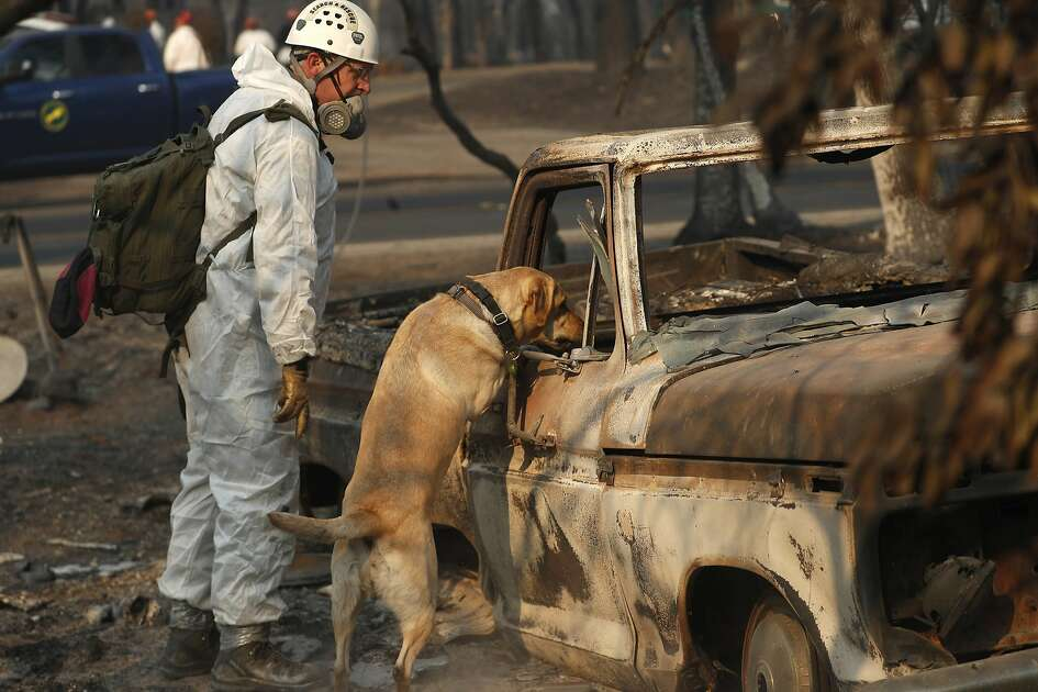 A search and rescue dog searches for human remains at the Camp Fire, Friday, Nov. 16, 2018, in Paradise, Calif. (AP Photo/John Locher)