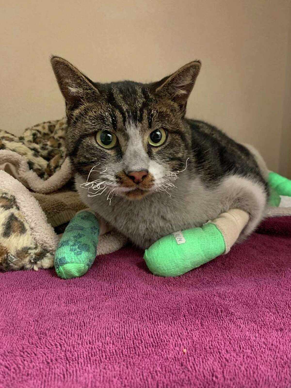 """Male, not neutered. SF SPCA ID: A40173421 SF SPCA given name (NOT the animal's real name): """"Ainslie"""" If you believe this cat is yours, call SF SPCA at 415-554-3030."""