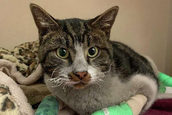 """Male, not neutered. SF SPCA ID: A40173421 SF SPCA given name (NOT the animal's real name): """"Ainslie"""" If you believe this cat is yours, call us at 415-554-3030."""