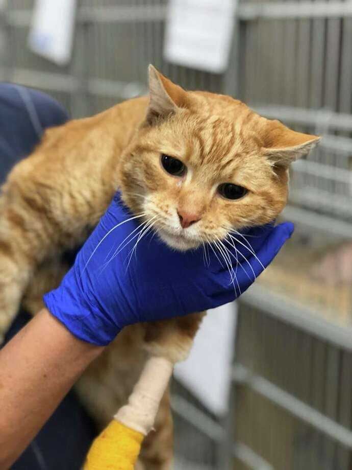 """Male, neutered. SF SPCA ID: A40173430 SF SPCA given name (NOT the animal's real name): """"Blake"""" If you believe this cat is yours, call SF SPCA at 415-554-3030. Photo: Courtesy Of The SF SPCA"""