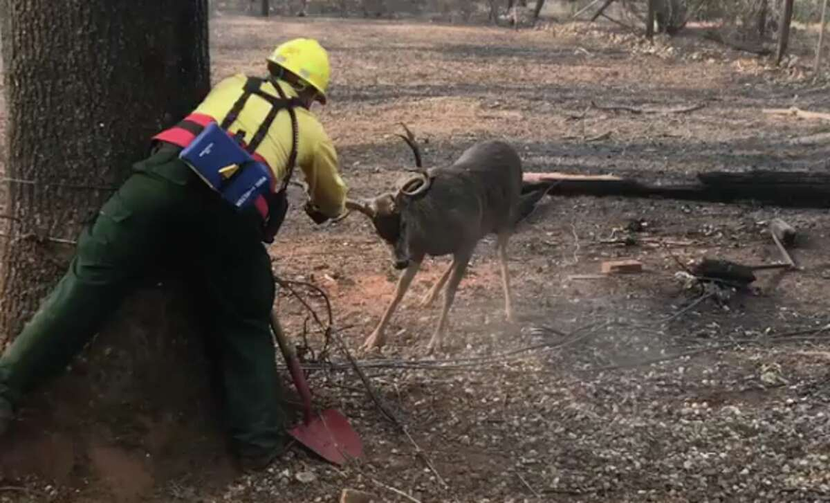 A firefighter with the Mohawk Valley Fire Department in Oregon helps free a deer from a power line in the Paradise, Calif. area. The group is in California helping Cal Fire battle the Camp Fire.