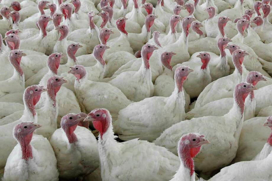 CLÀR - This Wednesday file image, on 11 April 2012 shows a turkey at a farm in Lebanon, Pa. To kill salmonella, cooked birds to temperature within 165 at least at least; least. Photograph: Matt Rourke, AP / Copyright 2018 The Associated Press. All rights reserved.