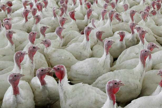 FILE - This Wednesday, April 11, 2012 file photo shows turkeys at a farm in Lebanon, Pa. To kill the possibility of salmonella, cook birds to an internal temperature of at least 165 degrees.