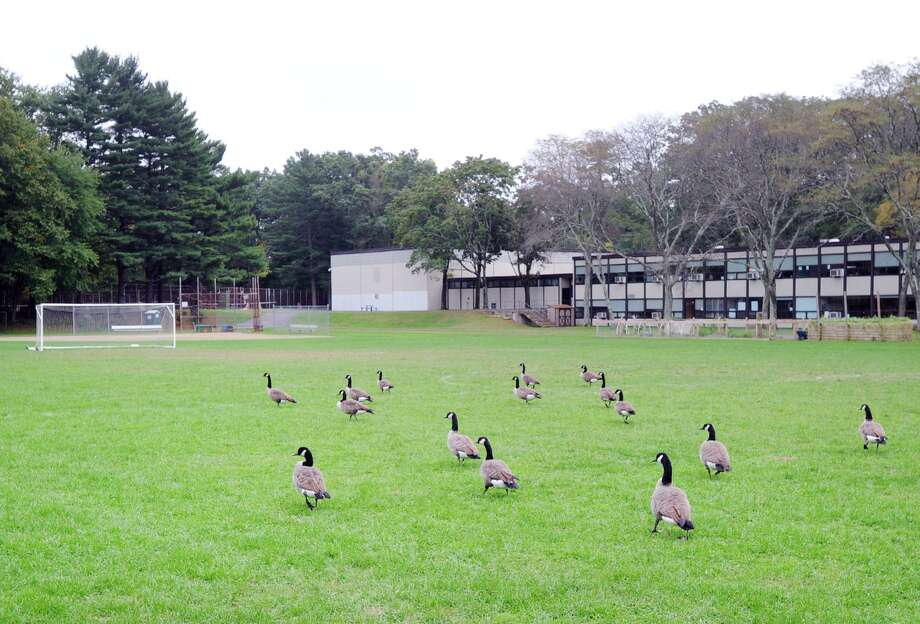 A flock of Canada geese occupy the athletic field at Central Middle School in Greenwich, Conn., Thursday, Oct. 4, 2018. Photo: File / Hearst Connecticut Media / Greenwich Time