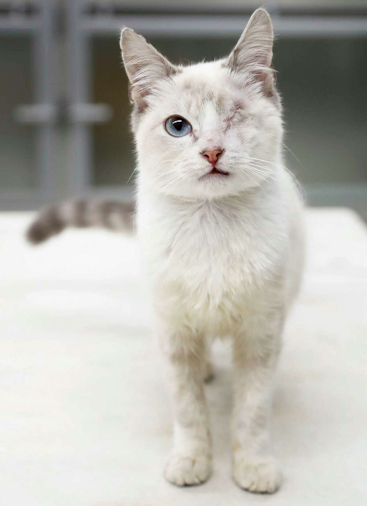 LEO (Animal ID: 376910) Leo is a 6-month-old Lilac Point kitten found with an injury to his eye that couldn't be repaired, which was sugically removed, and now Leo loves to be held and petted, as well as chase toys and is available for adpotion from the Houston SPCA. Photographed Monday, Nov. 19, 2018, in Houston.