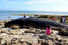 TOPSHOT - Residents gather to catch a glimpse of a carcass of a nine-meter long sperm whale that washed ashore on Tabuan Beach in East Lombok on March 29, 2018. Lombok Island is a next-door neighbour to the more well known resort island of of Bali. / AFP PHOTO / str (Photo credit should read STR/AFP/Getty Images)