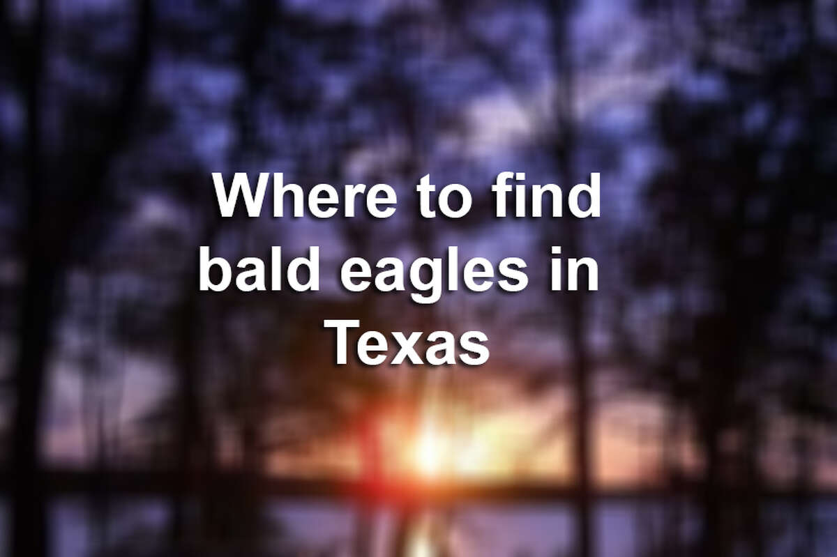 Click through the slideshow for a list of Texas lakes and parks where bald eagles might be spotted.