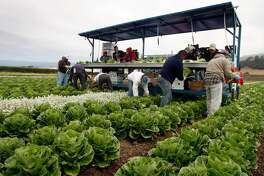 Farm workers harvest and package hearts of romaine lettuce to be shipped directly to market at Lakeside Organic Gardens Farm in Watsonville, Calif., on Wednesday, July 1, 2009.