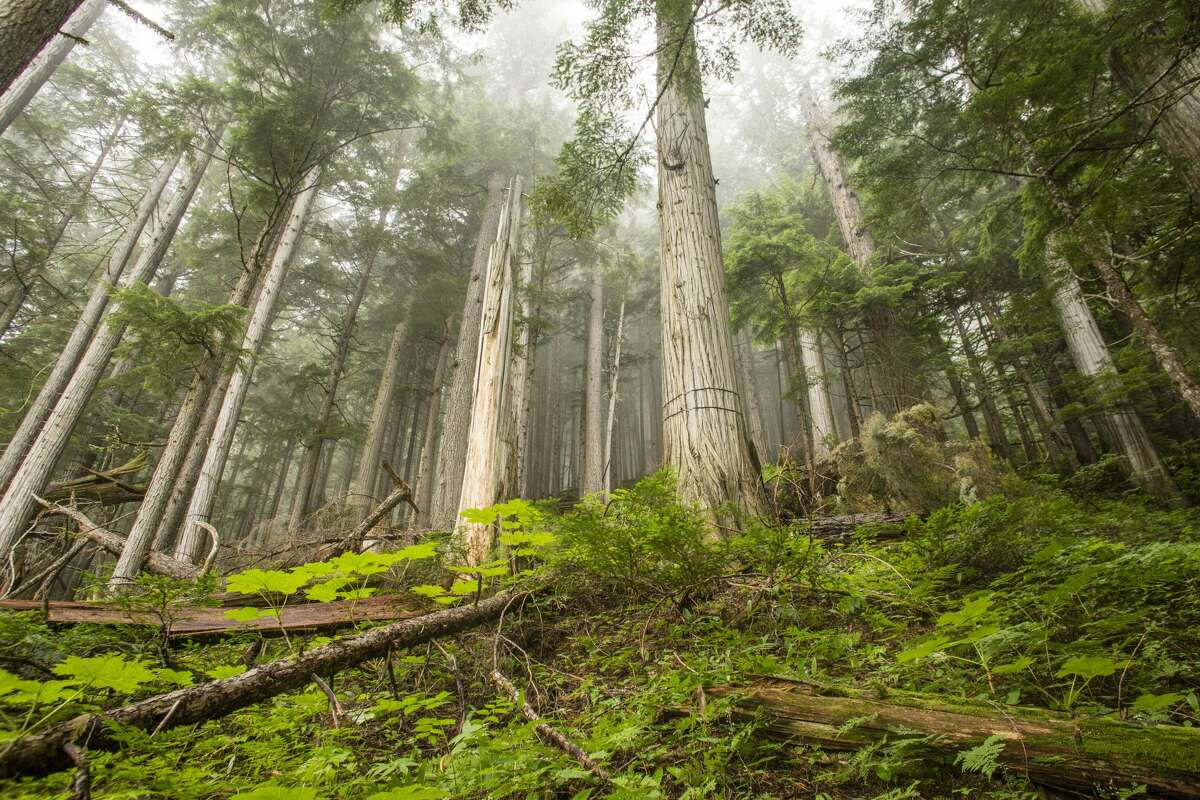 Interior rainforests are created when storms encounter mountains up to 11,000 feet high. It rains a lot in the Monashees, Selkirks, and Purcells.