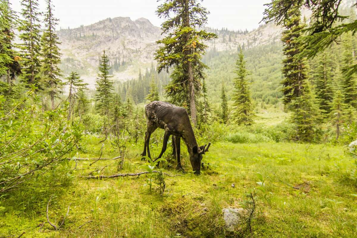 A mountain caribou. Only a few survive in Washington's Salmo-Priest Wilderness Area at the northeast corner of the state.