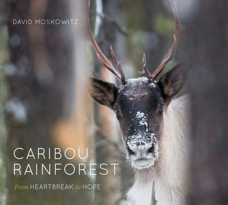Mountain caribou:  Rare, gentle, endangered signature species of the interior rainforests of western North America. Photo: Photo Courtesy Of Mountaineers Books