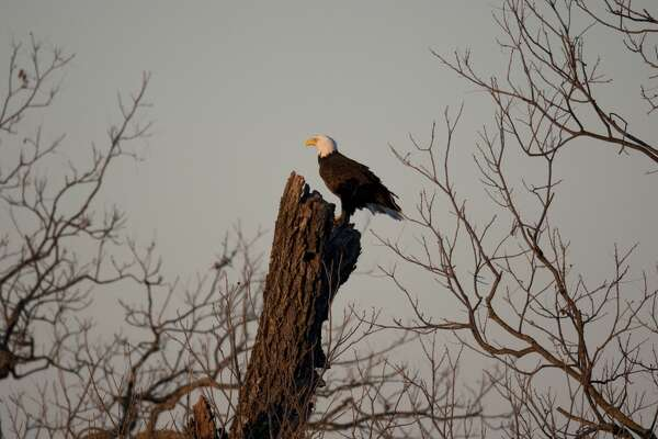 An American bald eagle, nesting close to a major roadway along Texas 29 in Llano County seem undisturbed by the attention of tourists and birders from all over Texas. (Photo by Robert Daemmrich Photography Inc/Corbis via Getty Images)