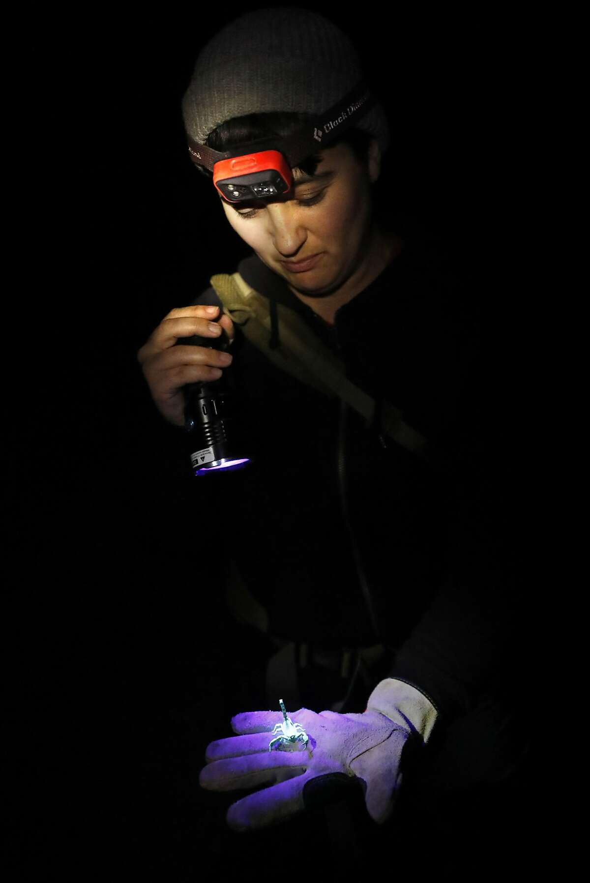 California Academy of Sciences' arachnologist Lauren Esposito holds a pacific forest scorpion glowing under UV light on Mt. Tamalpais in Mill Valley, Calif.. on Monday, November 5, 2018.