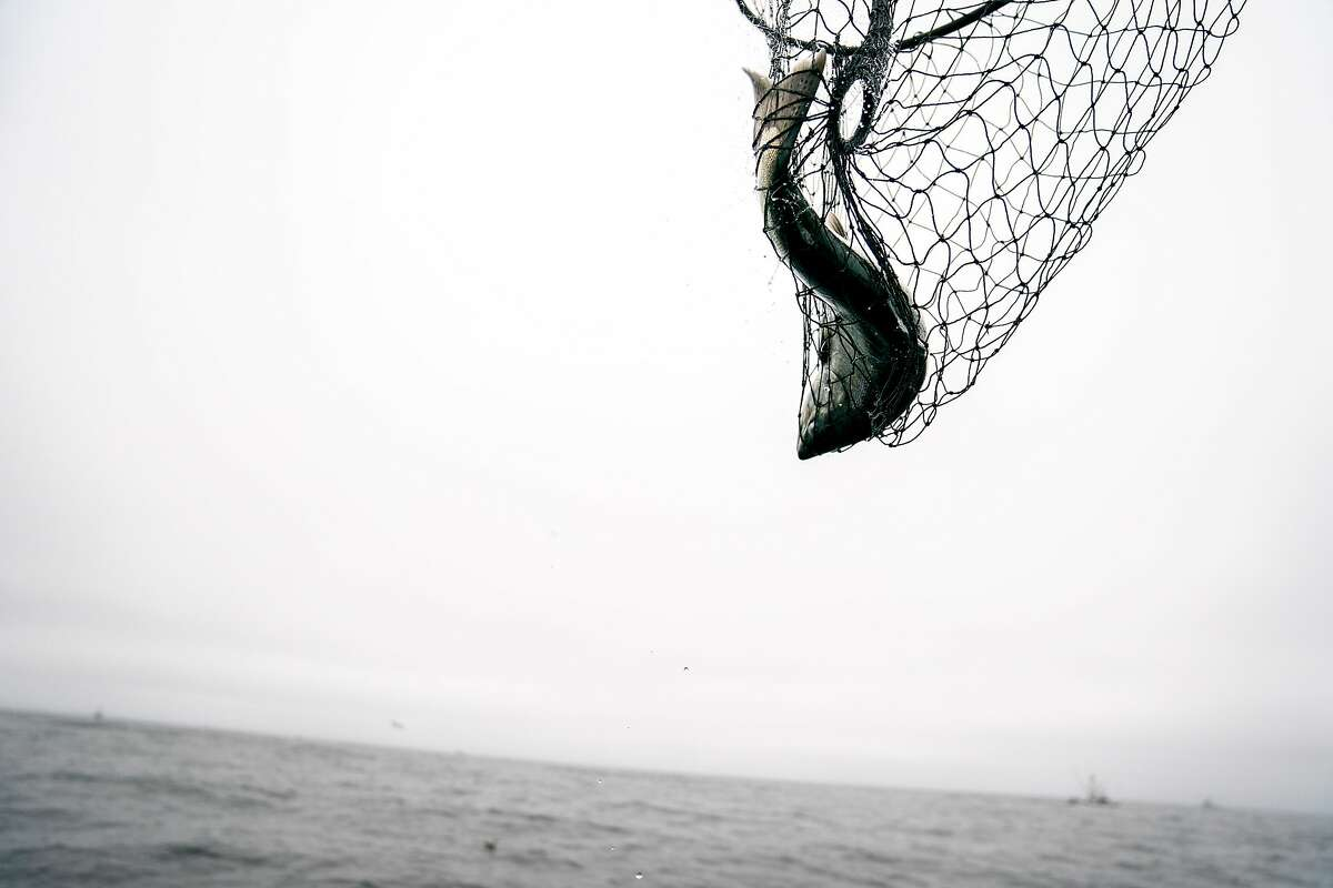 Chinook salmon is caught and brought into the Wacky Jacky fishing boat on Tuesday, Sept. 18, 2018, off the coast of San Francisco, Calif.