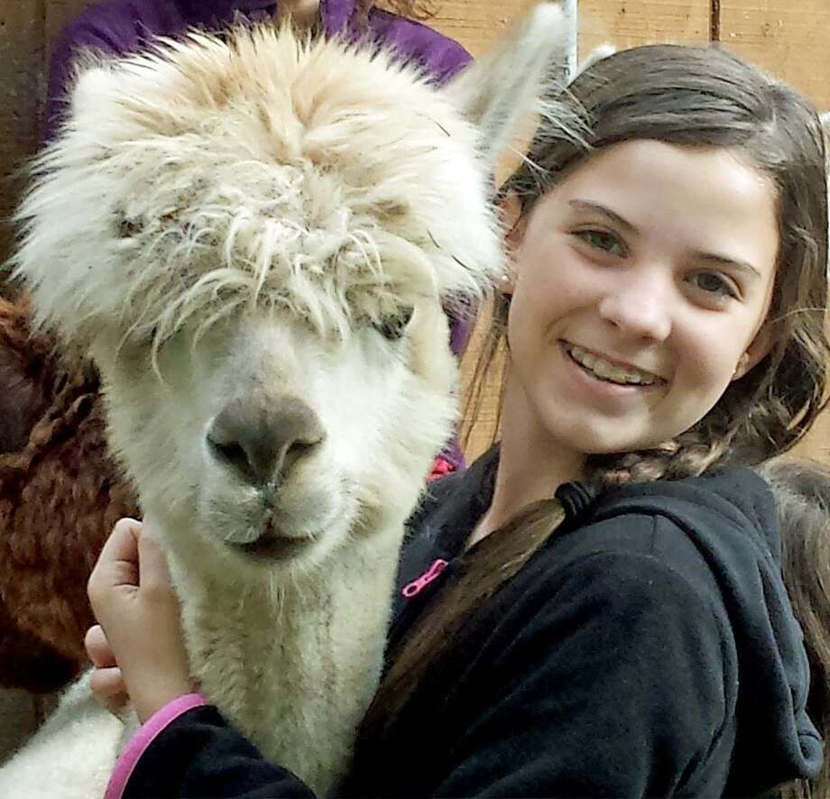 New England Alpacas of Killingworth will continue its annual open farm this weekend. Photo: Contributed Photo