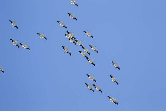 American white pelicans have arrived East Texas for the winter. They can be seen sailing overhead as though floating in the sky.
