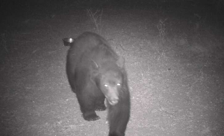 A big black bear is captured on wildlife cam Thanksgiving week, when bears are packing on calories prior to hibernation