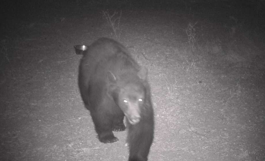 A big black bear is captured on wildlife cam Thanksgiving week, when bears pack on calories before hibernation. Photo: Tom Stienstra / Tom Stienstra / The Chronicle