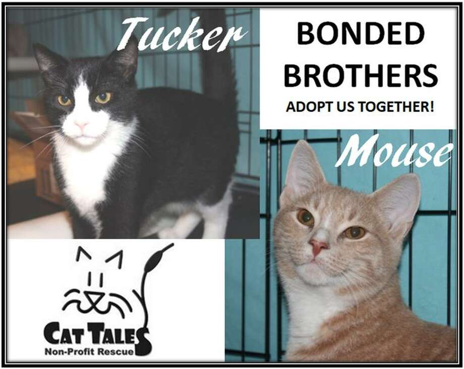 Hi, we are Tucker and Mouse. We are brothers who are very bonded and must be adopted together. We're extremely sweet, outgoing, affectionate boys. We like to be held when we are in the mood and we love to play! We'll be ready for adoption at the end of November, once we've been fully vetted. But don't wait! You can adopt us now and take us home in December. Visit http://www.CatTalesCT.org/cats/Tucker, call 860-344-9043 or email: info@CatTalesCT.org. Watch our TV commercial: https://youtu.be/Y1MECIS4mIc All new adoptions* come with the 30 day gift of medical insurance provided by Trupanion® Medical Insurance for your pet. *Some exclusions apply. Photo: Contributed Photo