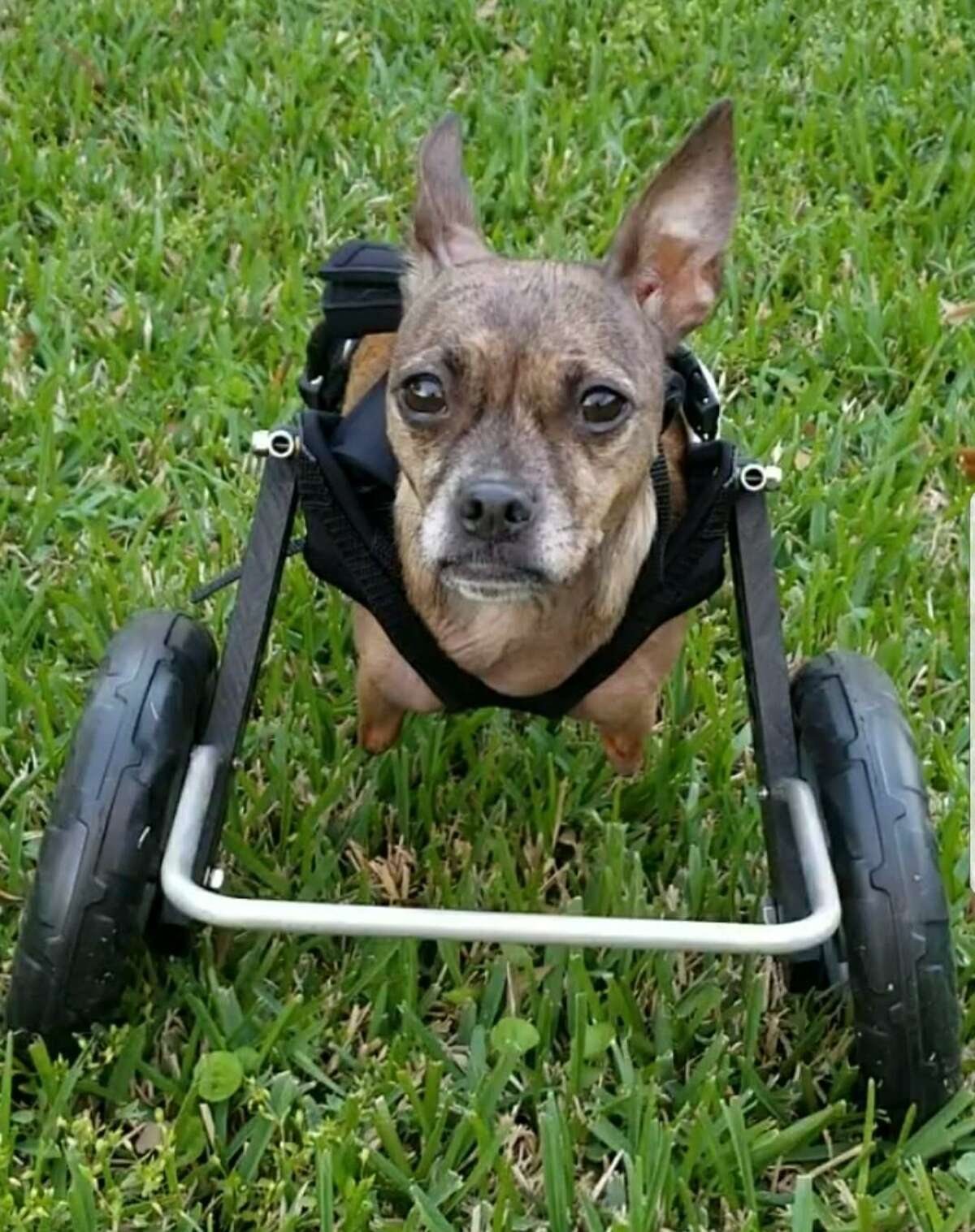 Nessie McNubbins is an 8-year-old rescue chihuahua adopted earlier this year by Theresa Loyacano.