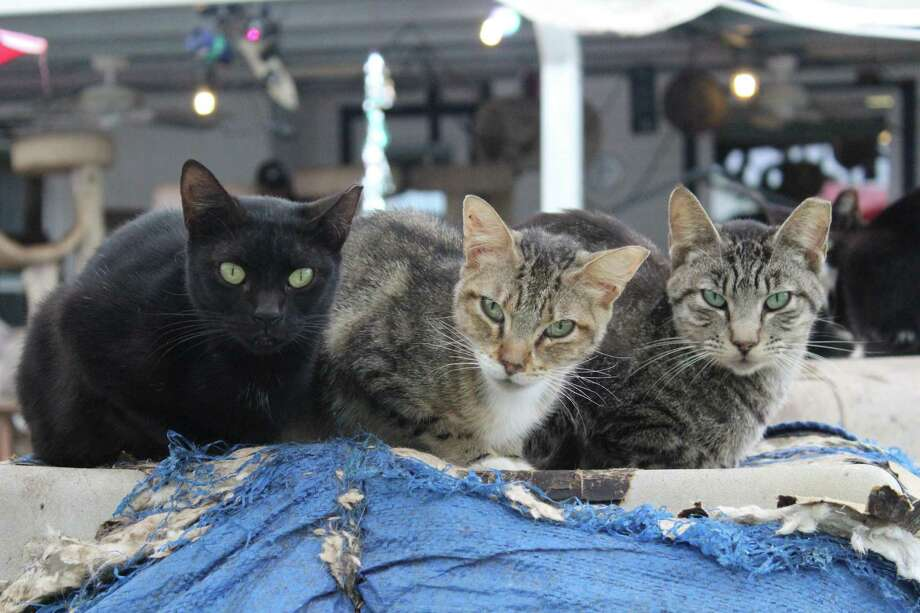 A Spring couple accused of animal cruelty were again ordered on Tuesday to surrender ownership of more than 200 cats found on their property in various stages of illness. Photo: Submitted Photo, Houston SPCA / Submitted Photo / Houston SPCA