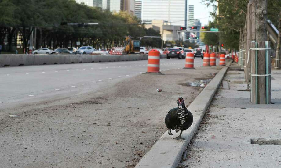 A water fowl walks along recently poured concrete in a construction area near Hidalgo along Post Oak on Nov. 23. Photo: Steve Gonzales, Houston Chronicle / Staff Photographer / © 2018 Houston Chronicle