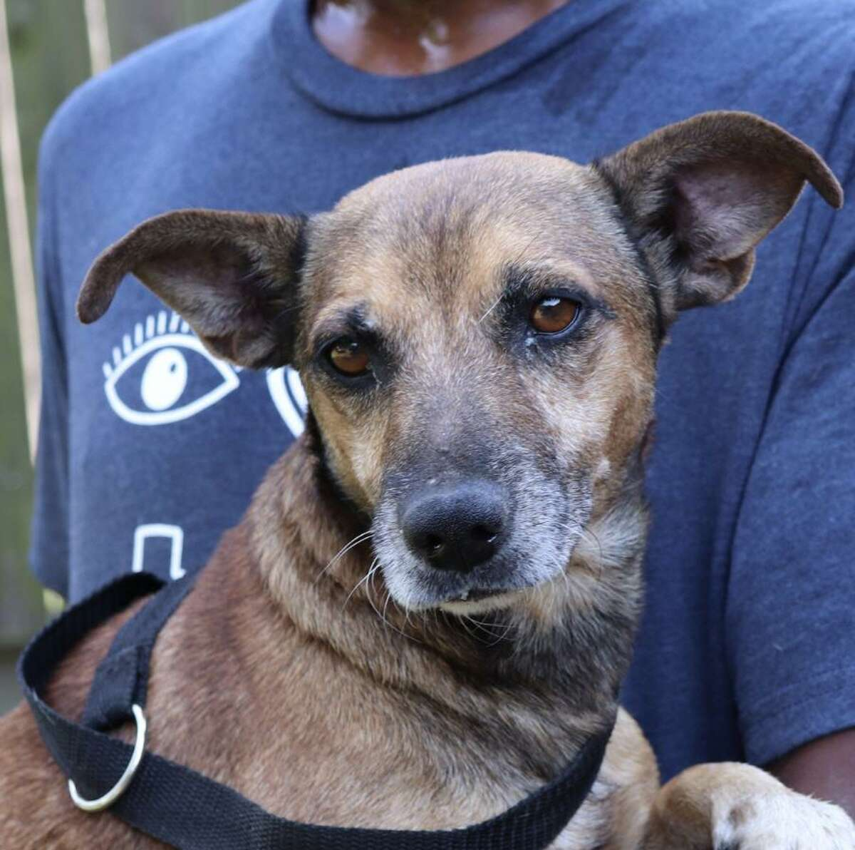 Animal Rescue Kingdom is looking for a family to adopt Ted, who was found as a stray in the Houston area. He is 5 to 7 years old and is easygoing and calm. He gets along with other dogs. The Dachshund mix weighs about 20 pounds. Email animalrescuekingdom@gmail.om or call 832-267-5777. Adoption fee applies.