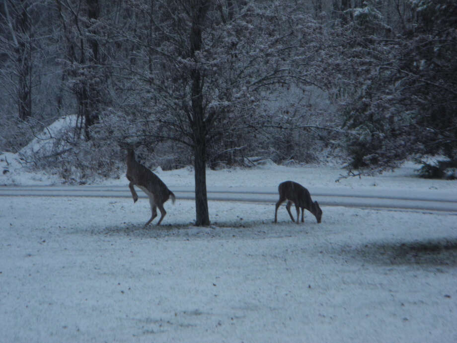 Deer spotted outside our house in Cohoes early this morning, grazing under the pear trees. Photo submitted on November 27, 2018. Photo: Mary Oxaal,  Times Union Reader