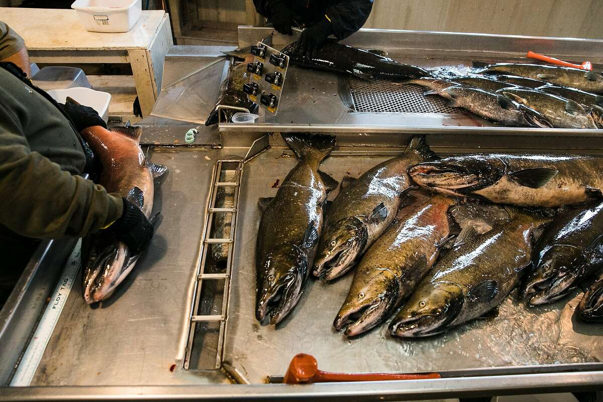Dead salmon are corralled for the artificial spawning process at the Mokelumne River Hatchery in Clements, Calif. Thursday, November 16, 2017.