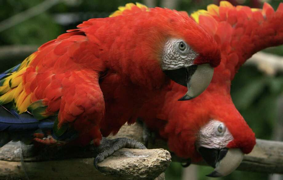 A scarlet macaw, like those pictured here, was among $15,000 worth of birds reported stolen from a New Haven pet store on Tuesday, Nov. 27, 2018. (AP Photo/Kent Gilbert) Photo: Kent Gilbert / AP / AP