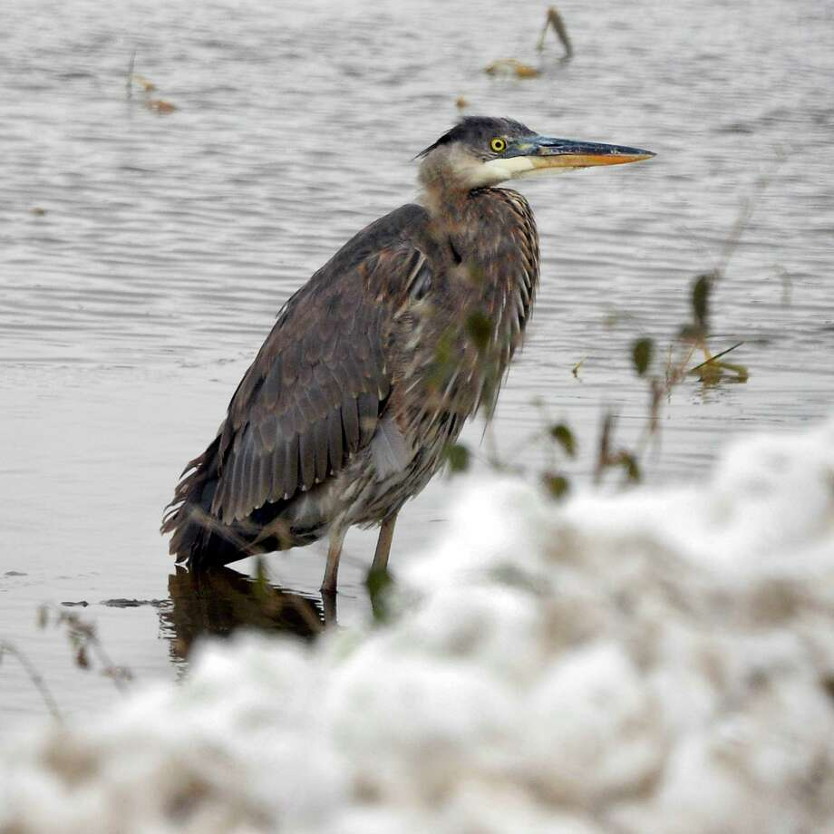 A Great Blue Heron waits out the storm along the snowy bank of a wetland  Tuesday Nov. 27, 2018 in Fonda, NY.  (John Carl D'Annibale/Times Union) Photo: John Carl D'Annibale, Albany Times Union