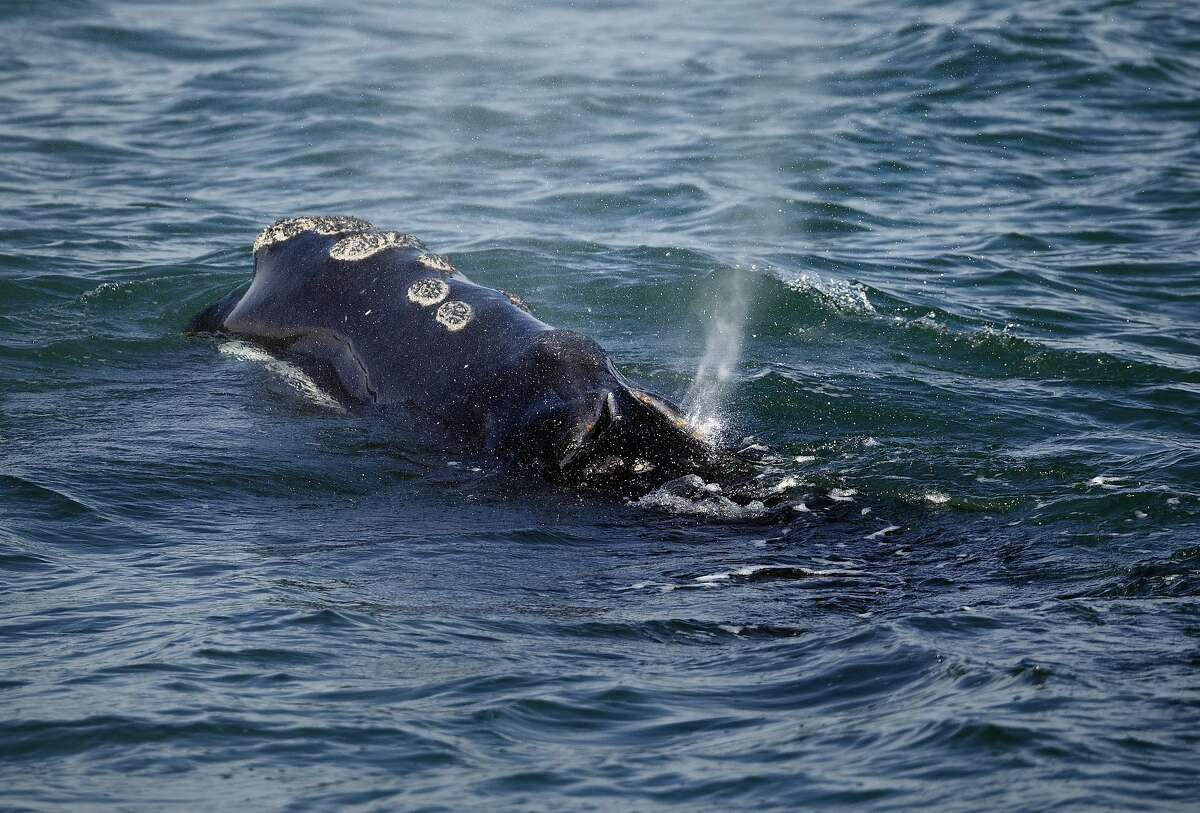FILE -- In this Wednesday, March 28, 2018 file photo, a North Atlantic right whale feeds on the surface of Cape Cod bay off the coast of Plymouth, Mass. Scientists have developed a video simulation of how whales become entangled in fishing lines, and say the technology could help lead to new and safer gear designs. Researchers say entanglements are a leading cause of right whale deaths. (AP Photo/Michael Dwyer, File)