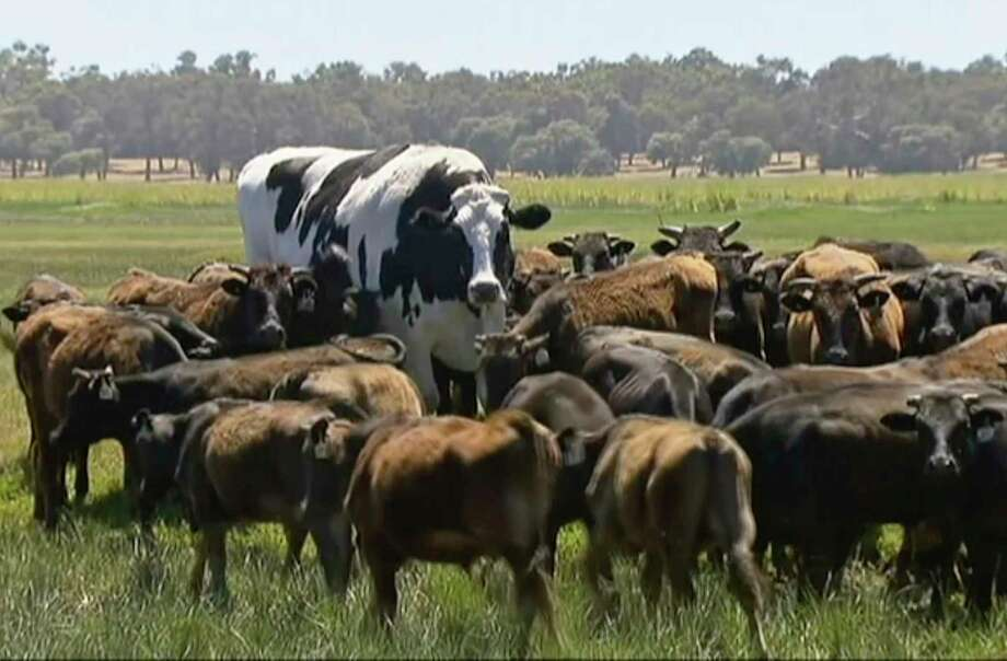 "In this image made from video taken Nov. 15, 2018, Knickers the steer, center back, is in paddock with cow herd in Lake Preston, Australia.  A enormous steer in the state of Western Australia has avoided the abattoirs by being too big.  The 194 centimeters-tall bovine, dubbed ""Knickers"", is believed to be the tallest in the country and weighs about 1.4 tons, local media reported.  (Channel 7's Today Tonight via AP) Photo: AP / Channel 7's Today Tonight"