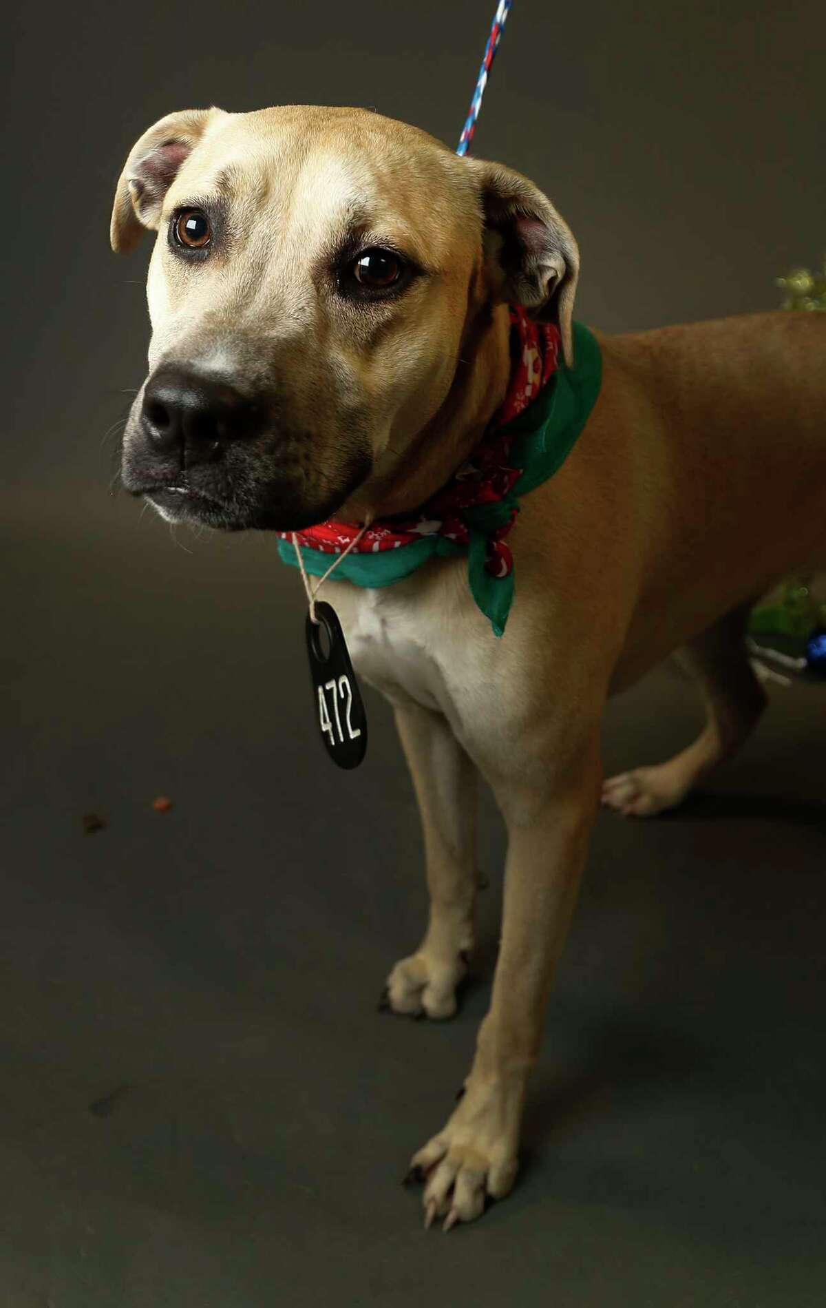 KAY (Animal ID: A522109) Kay is a 1 1/2-year-old spayed female, yellow Labrador Retriever and was surrendered by owner, but is available for adoption at the Harris County Animal Shelter. Photographed Tuesday, Nov. 27, 2018, in Houston.