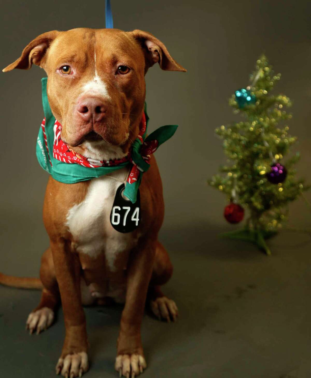 TIFFANY (Animal ID: A521660) Tiffany is a 3-year-old Pit Bull mix, and is available for adoption at the Harris County Animal Shelter. Photographed Tuesday, Nov. 27, 2018, in Houston.