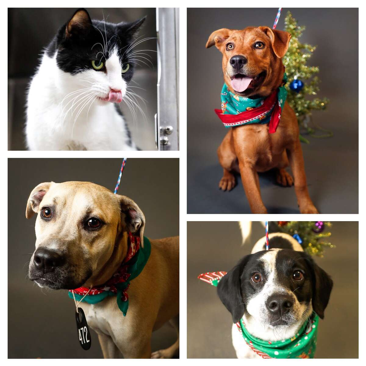 Animals surrendered by owner available for adoption at the Harris County Animal Shelter. Photographed Tuesday, Nov. 27, 2018, in Houston.