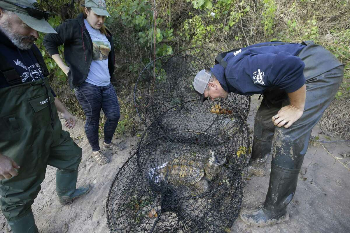 Arron Tuggle, left, Valeria Gladkaya, center, both research assistants, and Eric Munscher, right, director of Turtle Survival Alliance-North American Freshwater Turtle Research Group, look at an alligator snapping turtle the group trapped in Buffalo Bayou as part of the process of tagging turtles Saturday, Nov. 24, 2018. The male turtle was approximately 20-years-old and weighed around 40 pounds.