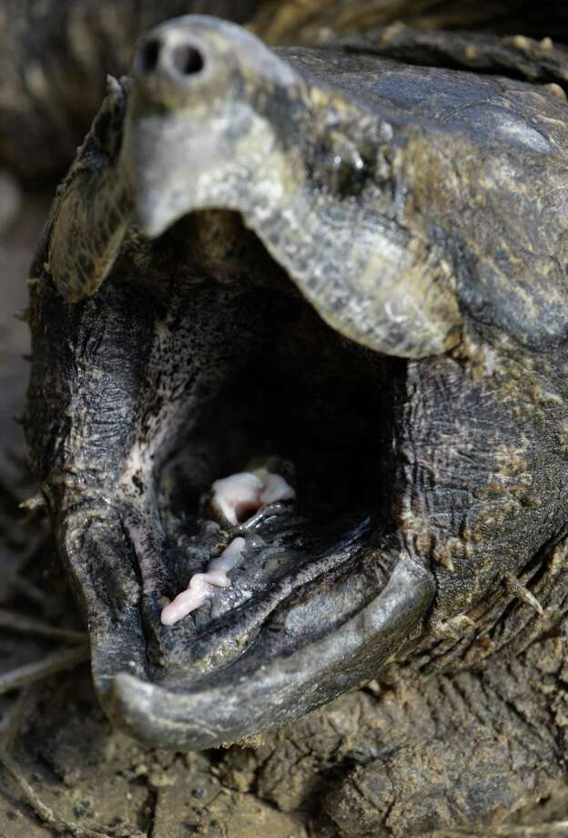 The tongue lure of the alligator snapping turtle is shown Saturday, Nov. 24, 2018. With their mouths wide open, the tongue is wriggled like a worm to catch prey underwater. This male alligator snapping turtle is approximately 20-years-old and weighs around 40 pounds. He was trapped by the Turtle Survival Alliance-North American Freshwater Turtle Research Group as part of the process of tagging turtles.The turtle was released after the group attached it with a radio frequency transmitter. Photo: Melissa Phillip, Houston Chronicle / Staff Photographer / © 2018 Houston Chronicle