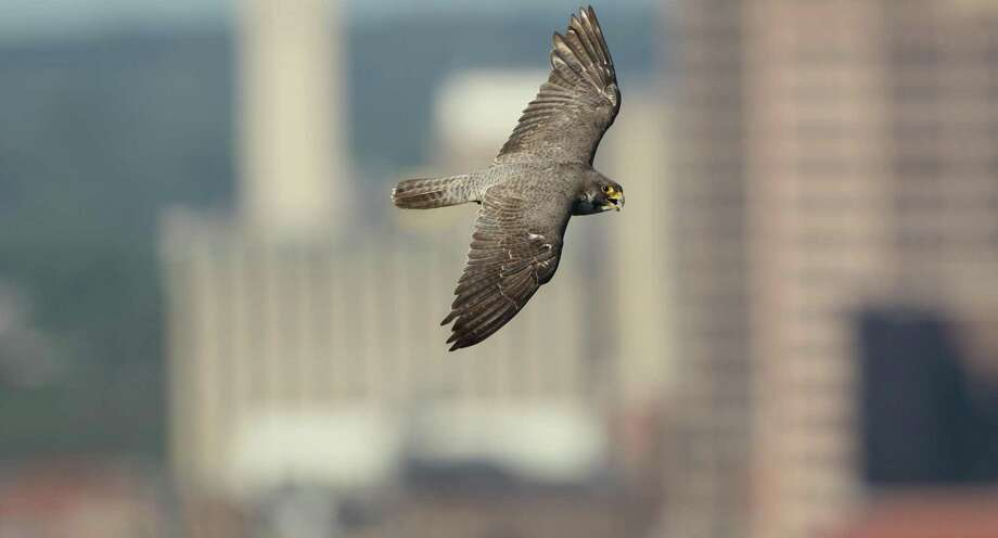 A peregrine falcon in flight. Photo: Paul Fusco / Connecticut Audubon Society / All Rights Reserved