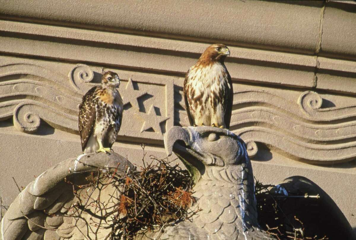 Red-tailed hawks in Hartford.