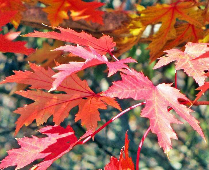 Drummond red maples make a colorful addition to the landscape.