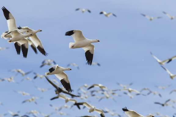 Snow geese have returned for the winter to fallow farm fields on the outskirts of Houston and area wildlife refuges.