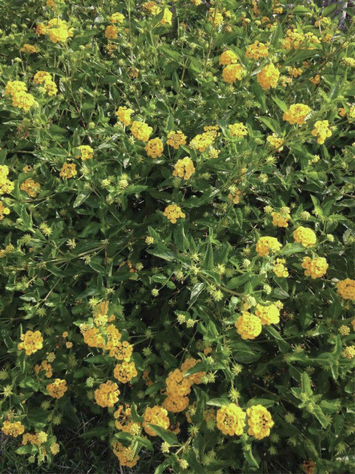 Lantana grows in gardens, fields and woodland areas in our county. The two varieties receiving Superstar status are New Gold TM Lantana and Trailing Lantana.