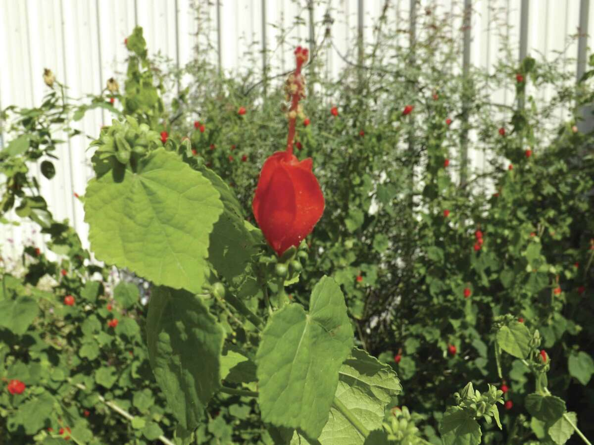The Turk's Cap grows low to the ground in shade while reaching heights of three to six feet in full sun.