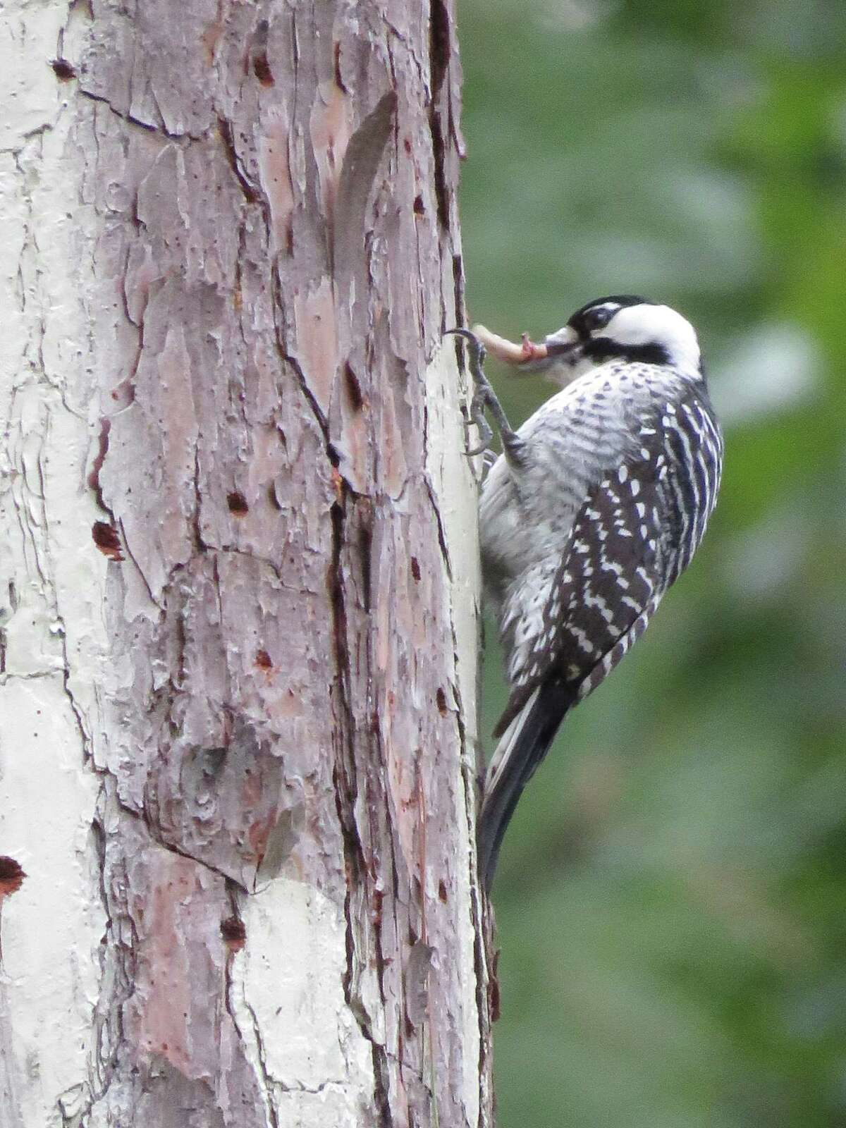 The Texas A& Forest Service announced it has received two pairs of unrelated Red-Cockaded Woodpeckers, which can now call Jones State Forest in Conroe home.